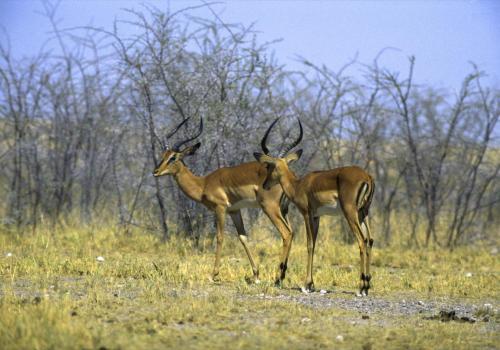 Schwarzgesicht Impalas