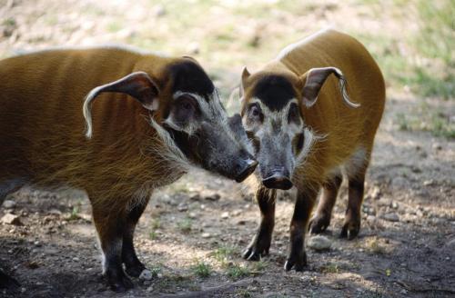 Pinselschweine