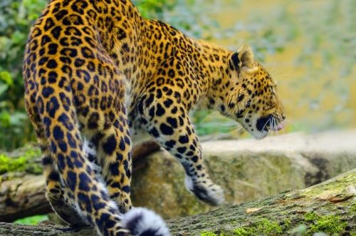 Der Leopard ist ein Raubtier aus der Familie der Katzen