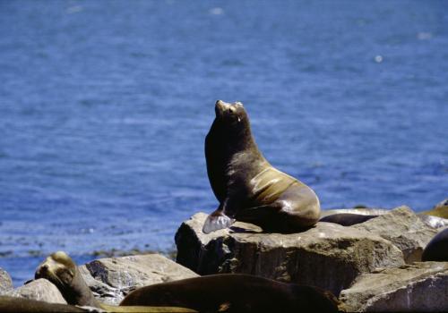 Seelöwe auf Felsen