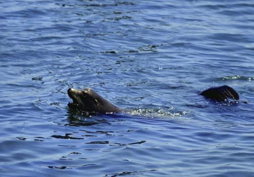 Schwimmender Seelöwe