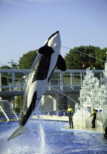 Orca in SeaWorld