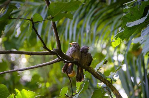 Ceylon-Drosslinge