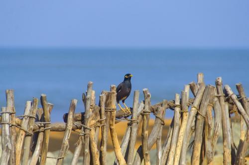 Hirtenmaina oder der Hirtenstar ist eine ursprünglich asiatische Singvogelart