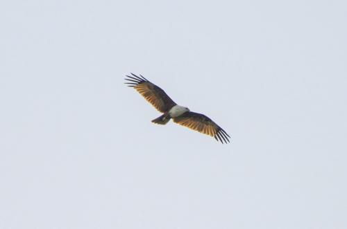 Brahminenweih ist ein relativ großer Greifvogel aus der Familie der Habichte.