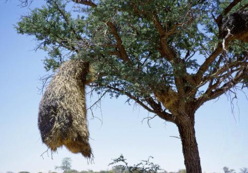Nest einer Webervogelkolonie