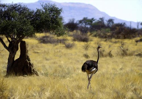 Straußenvogel