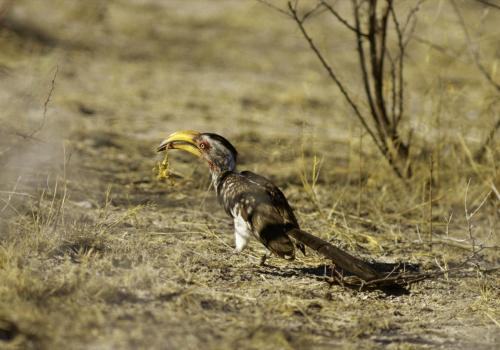 Gelbschnabeltoko beim Verspeisen eines Skorpions im Etosha Nationalpark