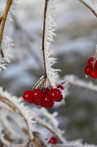 Raureif an Früchten und Zweigen