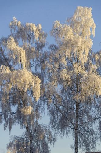 Raureif auf den Bäumen im Winter